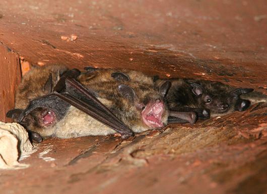 Pennsylvania Bat Removal Services Bat Control Bat