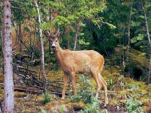 Deer Control